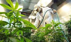 washington marijuana cannabis weed pot seattle