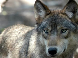 Grey wolf appears in Iowa for first time in 89 years – and is shot