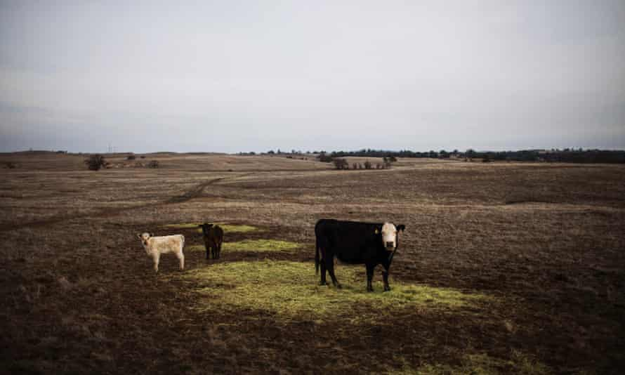 Cattle graze on hay in a landscape that would normally be covered in green grass on the Van Vleck Ranch in Rancho Murieta, California, in this February 12, 2014.