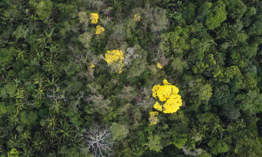 Aerial photograph showing rainforest in Para state, Brazil. The Ip  tree flowers with brilliant pink, yellow or white flowers every September. It is a valuable timber for its wood, known for its durability, strength and its natural resistance to decay. Ip  growing in the Amazon has a low  population density, with an average of one tree per 10 hectares. This means that large areas  of forest need to be opened up to access these valuable trees.