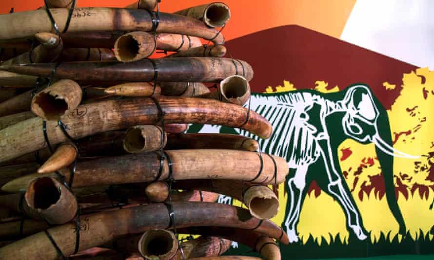 Ivory tusks are displayed after the official start of the destruction of confiscated ivory in Hong Kong May 15, 2014.
