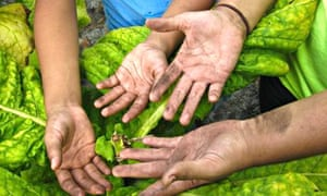 youth farm workers in tobacco fields