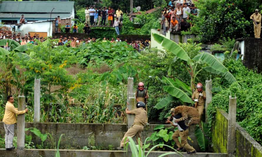 A leopard attacks a forest guard at Prakash Nagar village near Salugara on the outskirts of Siliguri on July 19, 2011. Six people were mauled by the leopard after the feline strayed into the village area before it was caught by forestry department officials. Forest officials made several attempt to tranquilised the full grown leopard that was wandering through a part of the densely populated city when curious crowds startled the animal, a wildlife official said.