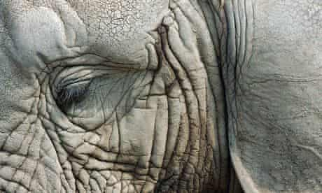 Close up of eye and ear of an elephant