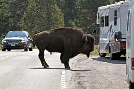 A buffalo holds up the traffic and entertains visitors in Yellowstone Park