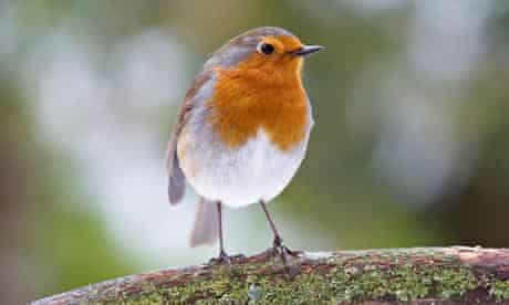 Robin, Erithacus rubecula perched on a branch with snow. Image shot 2012. Exact date unknown.