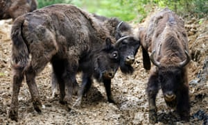 Two European bison (Bison bonasus) fight after being relocated, at Armenis, Tarcu Mountains, southwestern Romania, May 17, 2014.