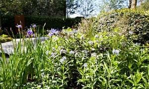 Garden blog: Amsonia