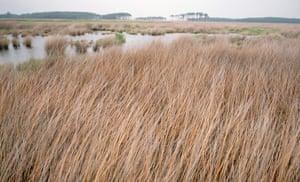 Cordgrass in Salt Marsh of Blackwater National Wildlife Refuge, Maryland, USA