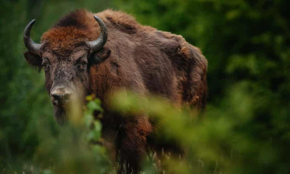 A European bison (Bison bonasus) checks his new surroundings after being being relocated to Armenis, Tarcu mountains, southwestern Romania, May 17, 2014.