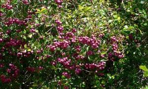 lillypilly bush
