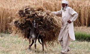 A farmer uses a donkey to transport newly harvested wheat grains at a field in Attcak, in Punjab