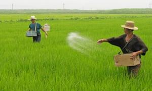 North Korean co-operative farm workers spread fertiliser in a rice field in Unpha county in July 2005.