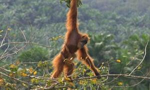 orangutan indonesia drones sustainability