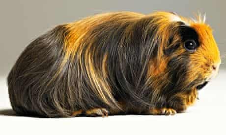 A guinea pig … who knows where this will end?
