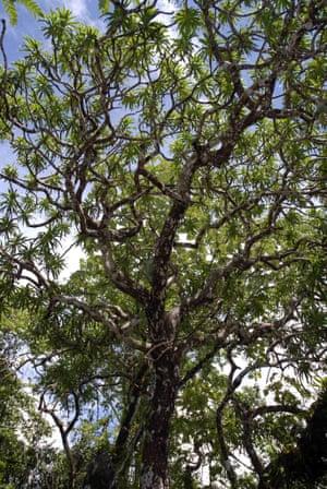 A Kaweesak's Dragon Tree.