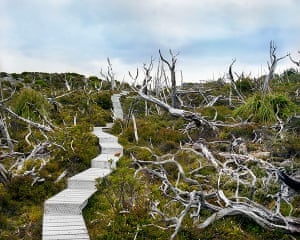 Big Picture Oldest Living: Wooden Path in Ancient Forest