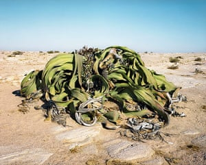 Big Picture Oldest Living: Ancient tree in desert