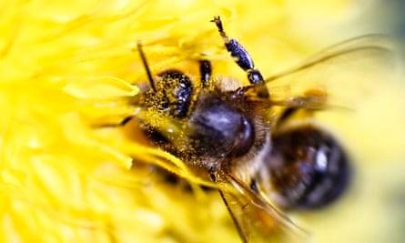 Honeybee gathers pollen from a flower at farm in the western Austrian village of Seefeld
