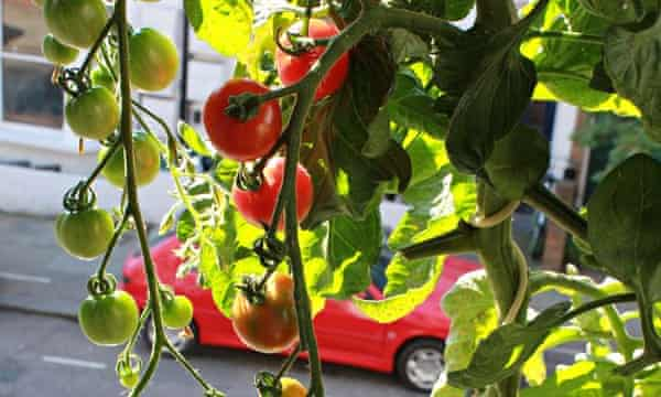 Vertical Veg Man How To Grow Tomatoes Successfully Life And