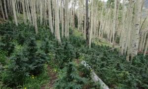 Colorado green rush feature