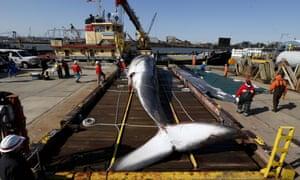 Finback whale