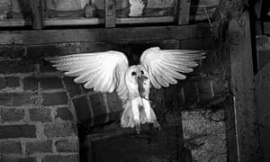 Heraldic Barn Owl