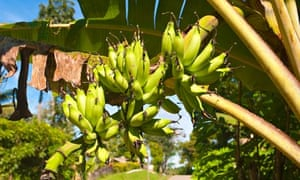 bunch of ripening bananas on a tree