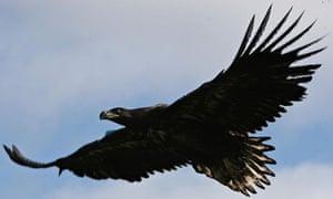A juvenile sea eagle