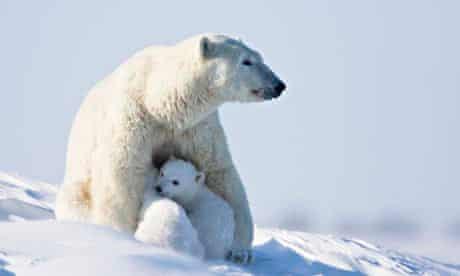 A polar bear with her cubs