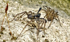 Country Diary: Male wolf spider begins his semaphore dance courtship