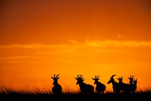 Topi graze at sunset in one of Paul Goldstein's dramatic images. The award-winning photographer captured these magnificent sunsets on the Masai Mara.