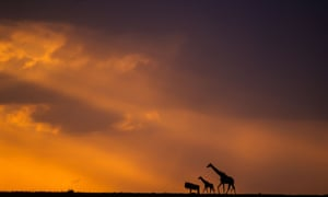 Wildebeest and giraffes at sunset. As a guide for Exodus Travels, Paul has had countless opportunities to document the beautiful natural spectacle.