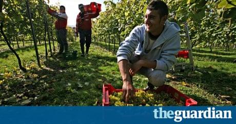 Romanian workers pick gra 011