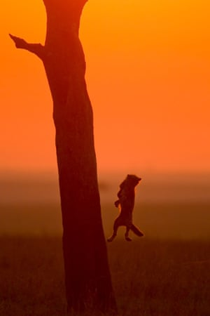 Cheetah cub jumps from a tree at sunset. Being in position early and ready to move quickly can reap magnificent rewards for a wildlife photographer.