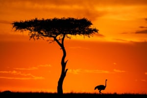 Ostrich at sunset. The colours are often better after the sun has set, or during the false dawn before it has risen.