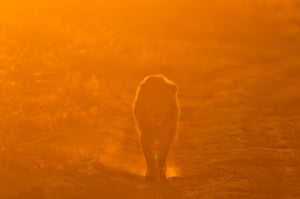 "A lion at sunset. Goldstein, says ""It is unpredictable, this is the nature of the beast, literally, but it is also exciting and rewarding and frankly a drug for me."""