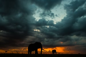 Elephants graze at sunset during stormy weather, which usually gives the most dramatic colours.