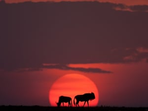 Wildebeest grazing as the sun sets. The Masai Mara is well-known for having the best photographic light in the world