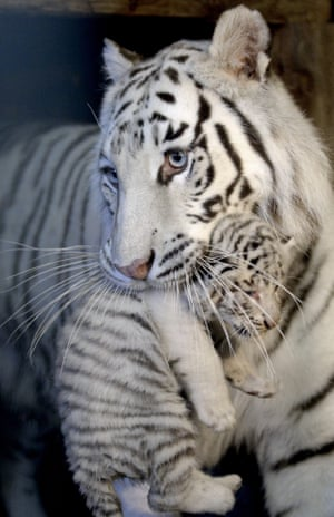 One of the white tiger quintuplets is carried by its mother at the White Zoo at the Kameltheater Kernhof in Austria.