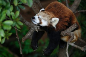 A Styan's red panda takes a nap on a tree at Ueno Zoo in Tokyo, Japan.