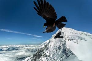 Jungfrau birds
