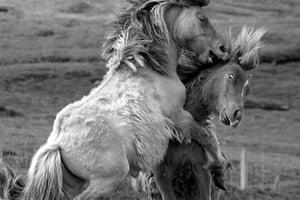 Ponies, Shetland Islands