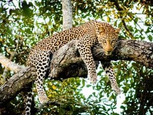 Leopard, Kruger National Park