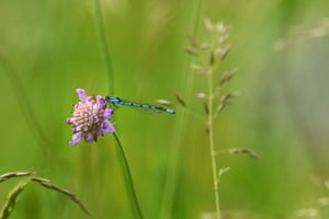 A common blue damselfly sits on a flower near Ueberlingen, southern Germany.
