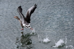 A graylag goose prepares to take flight over a pond near Ueberlingen, southern Germany.