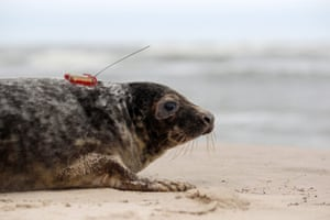 A grey seal (Halichoerus grypus) is released on the beach of the Slowinski National Park, northern Poland. Employees from the Hel Marine Station released three grey seals into the Baltic Sea, tagged with satellite transmitters so that scientists will be able to track their migration routes.