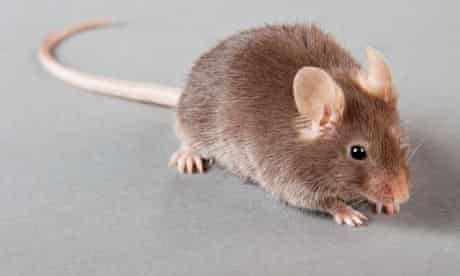 laboratory mouse.