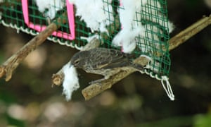 Finch collecting cotton from a dispenser