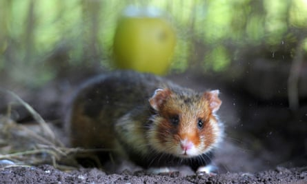 A picture taken on June 7, 2011 in Hunawihr, eastern France, in a breeding center dedicated to the reintroduction of the specimen, shows a Great Hamster of Alsace. France is failing in its duty to protect the Great Hamster of Alsace, a cute fur-ball facing extinction with fewer than 200 remaining, the advocate-general of Europe's top court said on June 7, 2011.